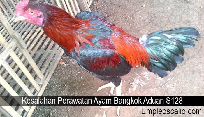 Kesalahan Perawatan Ayam Bangkok Aduan S128