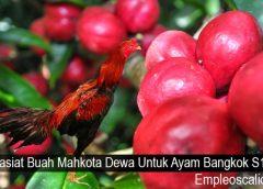 Khasiat Buah Mahkota Dewa Untuk Ayam Bangkok S128