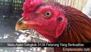 Mata Ayam Bangkok S128 Petarung Yang Berkualitas